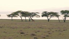 Giraf die op de Afrikaanse savanne op achtergrond van acaciabomen en meer lopen stock video