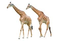 Giraf die op witte achtergrond wordt geïsoleerdd Stock Foto's