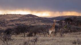 Giraf die over Afrika kijken stock afbeeldingen