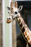 Giraf die over eruit ziet Stock Foto