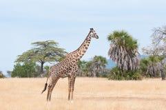 Giraf die rond in de savanne rondsnuffelen - de nationale reserve van het park selous spel in Tanzania royalty-vrije stock afbeelding