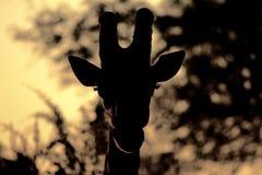 Giraf die tegen boom bij schemer wordt gesilhouetteerd - zeer atmosferisch beeld stock foto's