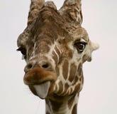 Giraf die uit tong plakt stock afbeeldingen