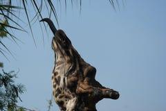 Giraf die van een boom eten royalty-vrije stock afbeeldingen