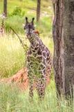Giraf die van een boom eten Royalty-vrije Stock Afbeelding
