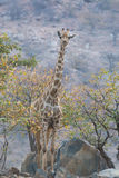 Giraf die zich op rotsen bevinden, die uit voor carnivoren kijken royalty-vrije stock foto's