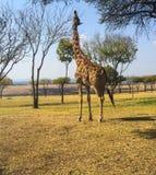 Giraf die zijn hals uitrekken Stock Foto's