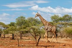 Giraf die in Zuid-Afrika lopen stock afbeelding