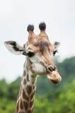 Giraf in dierentuin Stock Afbeelding