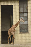 Giraf in dierentuin Royalty-vrije Stock Foto