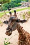 Giraf in dierentuin Stock Fotografie