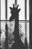Giraf in dierentuin Royalty-vrije Stock Afbeeldingen