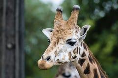 Giraf in DIERENTUIN, Pilsen, Tsjechische Republiek royalty-vrije stock foto