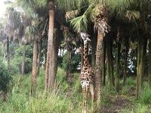 Giraf dierlijke aard Royalty-vrije Stock Fotografie