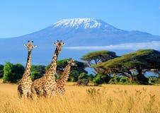 Giraf drie in Nationaal park van Kenia Stock Afbeeldingen