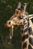 Giraf in Dublin Zoo, Ierland stock foto