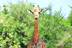 Giraf in Dusit dierentuin, Bangkok, Thailand stock fotografie