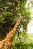 Giraf in een bos Royalty-vrije Stock Foto