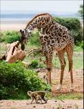 Giraf en apen. stock foto's