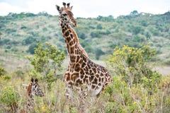 Giraf en baby, Tanzania royalty-vrije stock afbeelding