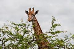 Giraf en boom Stock Fotografie