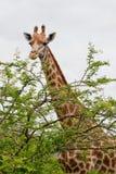 Giraf en boom Stock Afbeelding