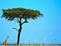 Giraf en boom Stock Afbeeldingen