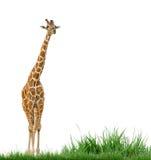 Giraf en groen gras Stock Foto
