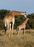 Giraf en jongelui Stock Afbeelding
