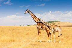 Giraf en kalf die zich in savanne verenigen royalty-vrije stock fotografie