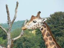 Giraf en oude boom Royalty-vrije Stock Fotografie