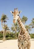 Giraf en palmen royalty-vrije stock foto's