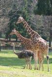 Giraf en struisvogel Stock Foto's