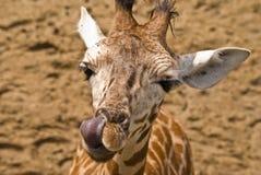Giraf en tong royalty-vrije stock fotografie