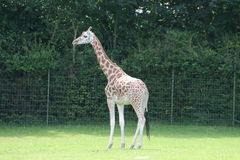 Giraf en un parque zoológico Fotos de archivo libres de regalías