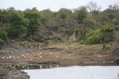 Giraf en vogels in de struik door watervijver, het Nationale Park van Kruger, Zuid-Afrika royalty-vrije stock afbeelding