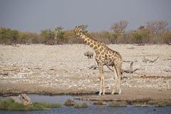 Giraf en Zwarte Rinoceros bij waterhole royalty-vrije stock foto