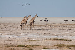 Giraf in Etosha Stock Foto's