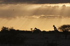 Giraf, girafa, camelopardalis do Giraffa fotografia de stock royalty free