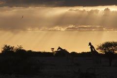 Giraf giraff, Giraffacamelopardalis royaltyfri fotografi