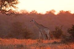 Giraf, Giraffa-camelopardalis Royalty-vrije Stock Afbeeldingen