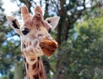 Giraf (Giraffa-camelopardalis) dichte omhooggaand Stock Foto's