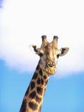 Giraf (Giraffa camelopardalisgiraffa) Royalty-vrije Stock Foto's