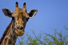Free Giraf, Giraffe, Giraffa Camelopardalis Royalty Free Stock Photo - 129027915