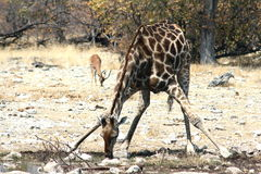 Giraf het drinken Stock Foto