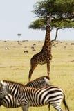 Giraf het eten Royalty-vrije Stock Afbeeldingen