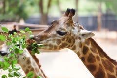 Giraf het eten gaat weg - sluit omhoog van een giraf Afrika in het nationale park royalty-vrije stock foto's