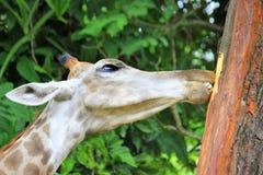 Giraf het kauwen schors van een boom stock afbeelding