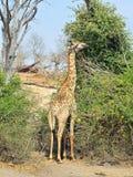 Giraf in het Nationale Park van Chobe, Botswana Royalty-vrije Stock Foto's
