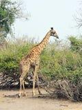 Giraf in het Nationale Park van Chobe, Botswana Stock Foto's